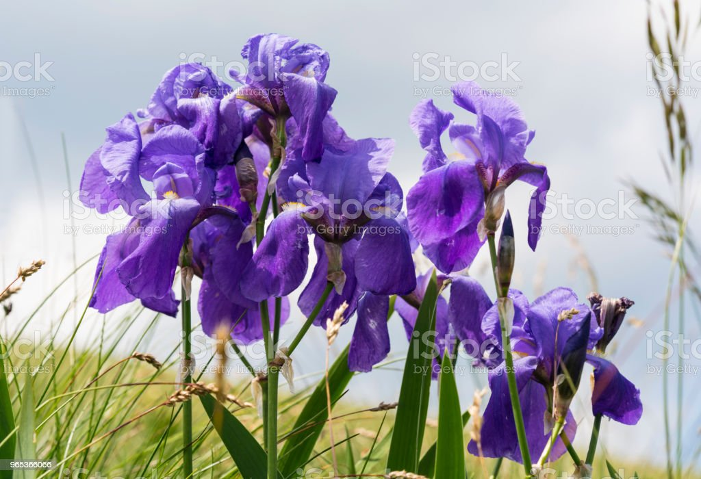 Blue Iris flowers flowerbed with blue sky in background,  Zalipnik valley near Golic, Slovenia zbiór zdjęć royalty-free