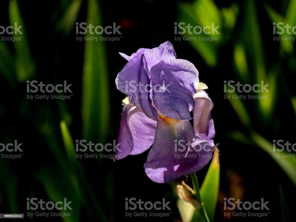 Blue iris royalty-free stock photo