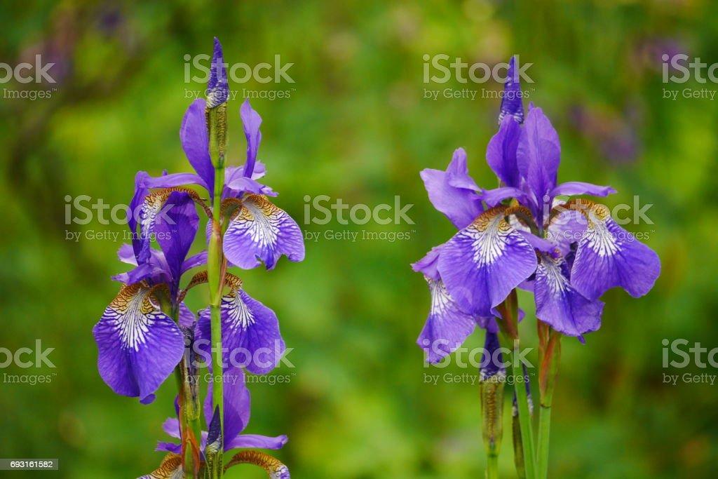 Blue Iris Sibirica Flowers stock photo