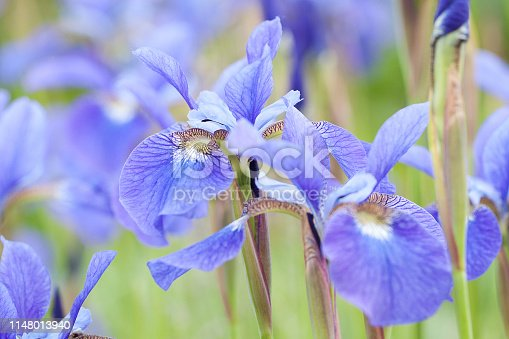 beautiful blue irises blooming in the summer park or in the garden