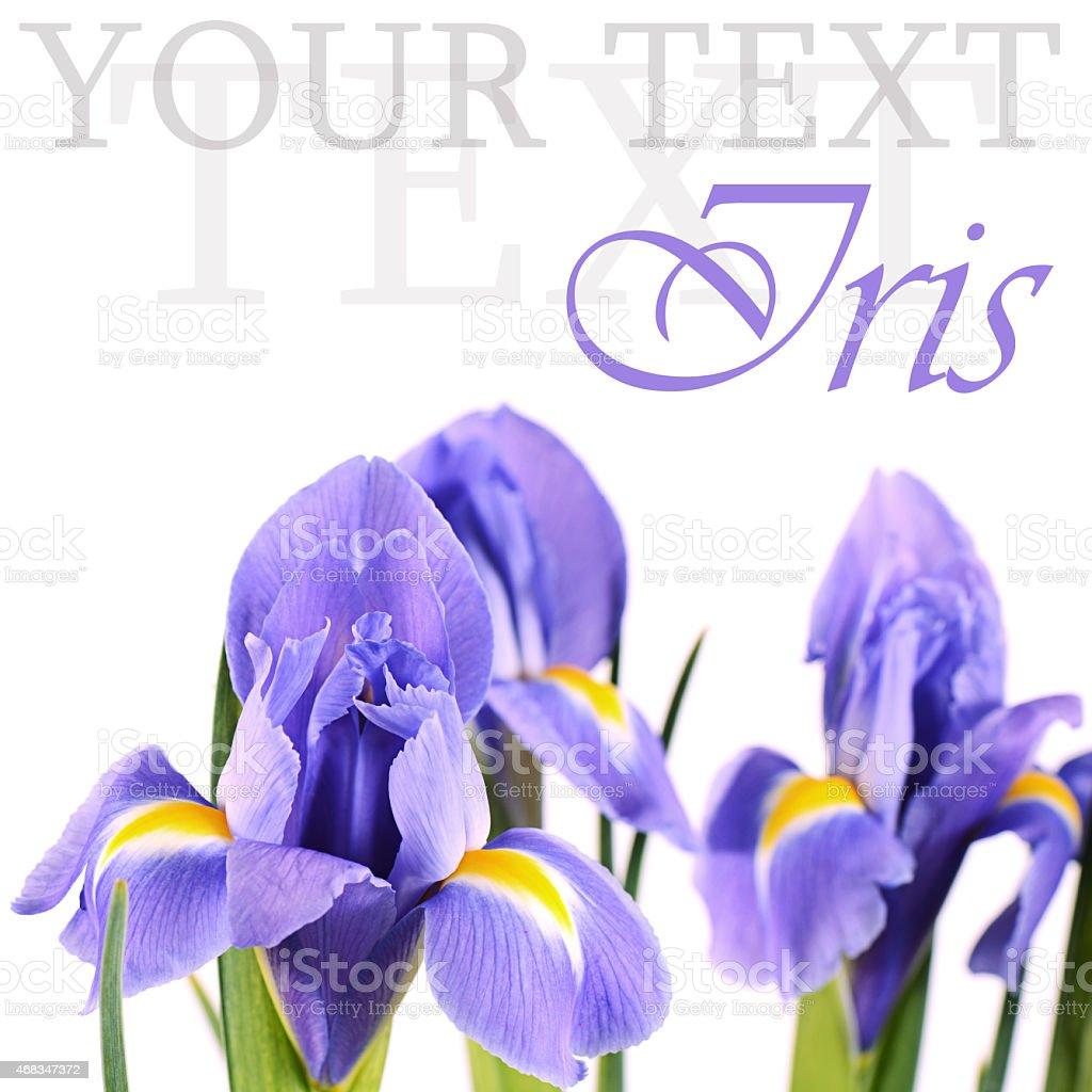 Blue irises isolated on white background royalty-free stock photo