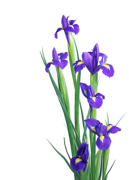 blue irises isolated on white - iris flower stock photos and pictures
