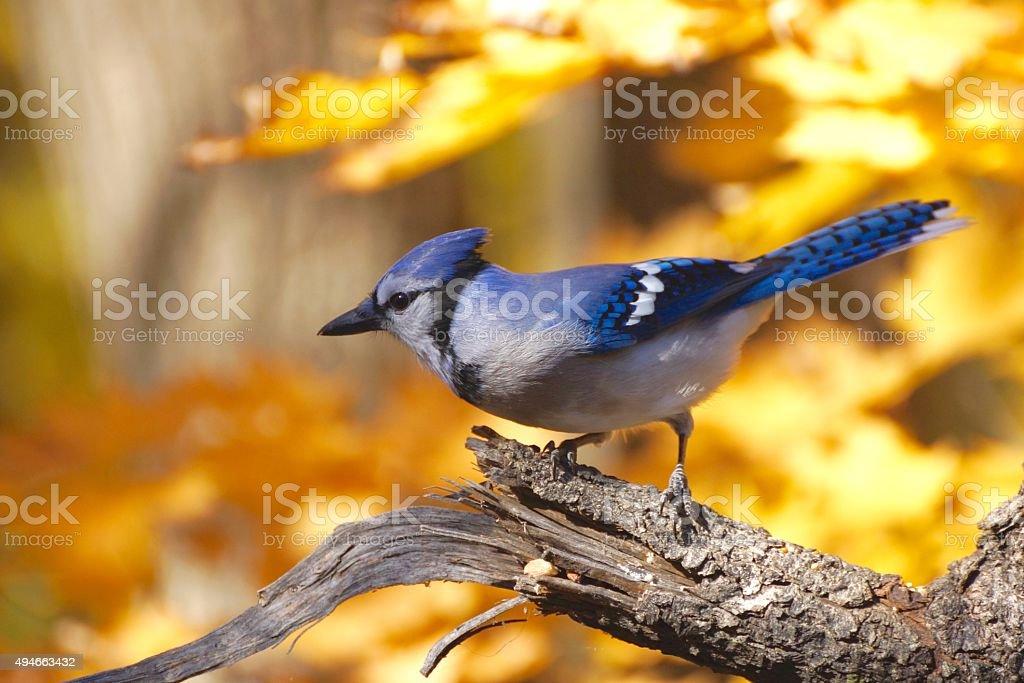 Blue Jay 4 stock photo