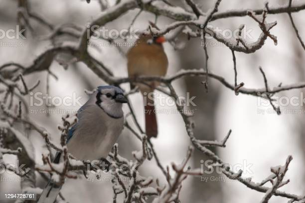 Photo of Blue Jay and Cardinal in Winter