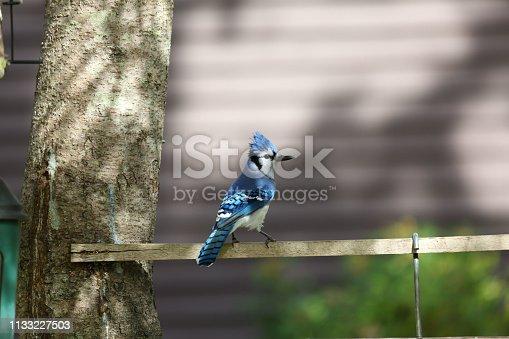 Blue jay at a feeder