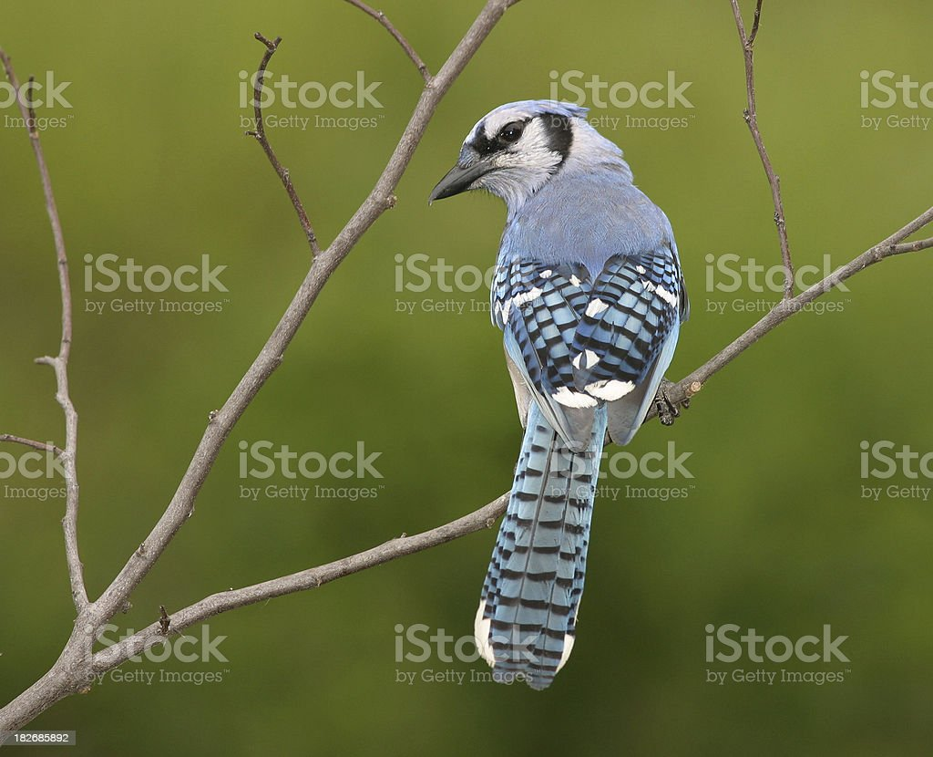 Blue Jay Back View stock photo