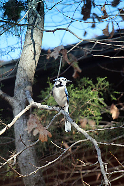 blue jay bird perched on branch - pam schodt stock photos and pictures