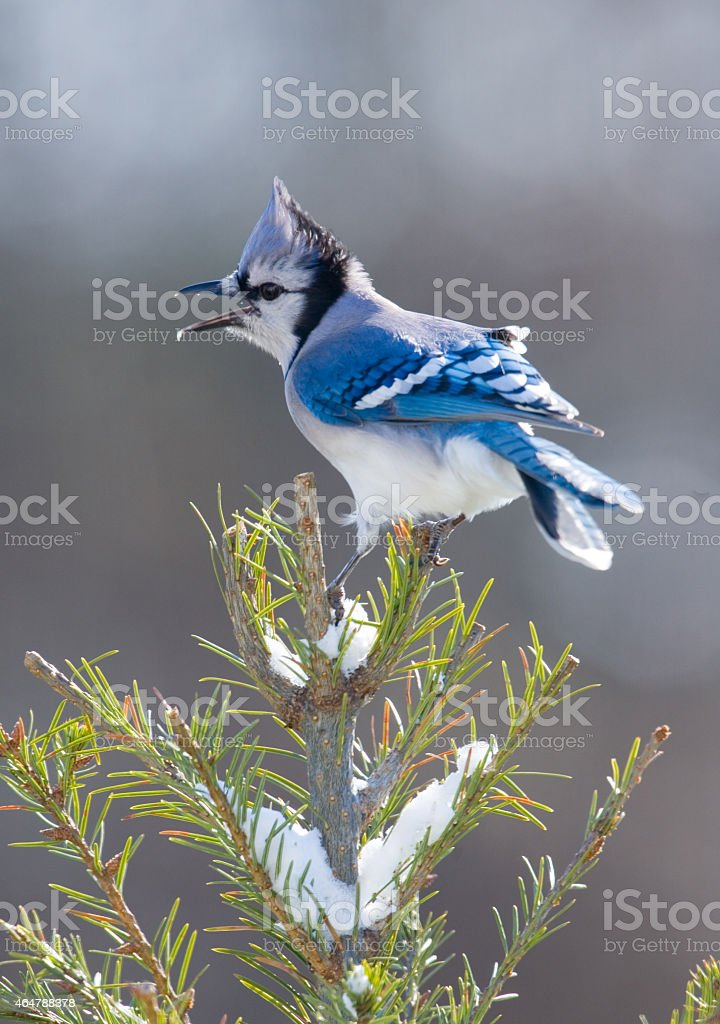 Blue Jay calling out stock photo