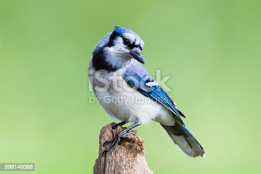 Blue Jay, cyanocitta cristata, bird perching, green background.