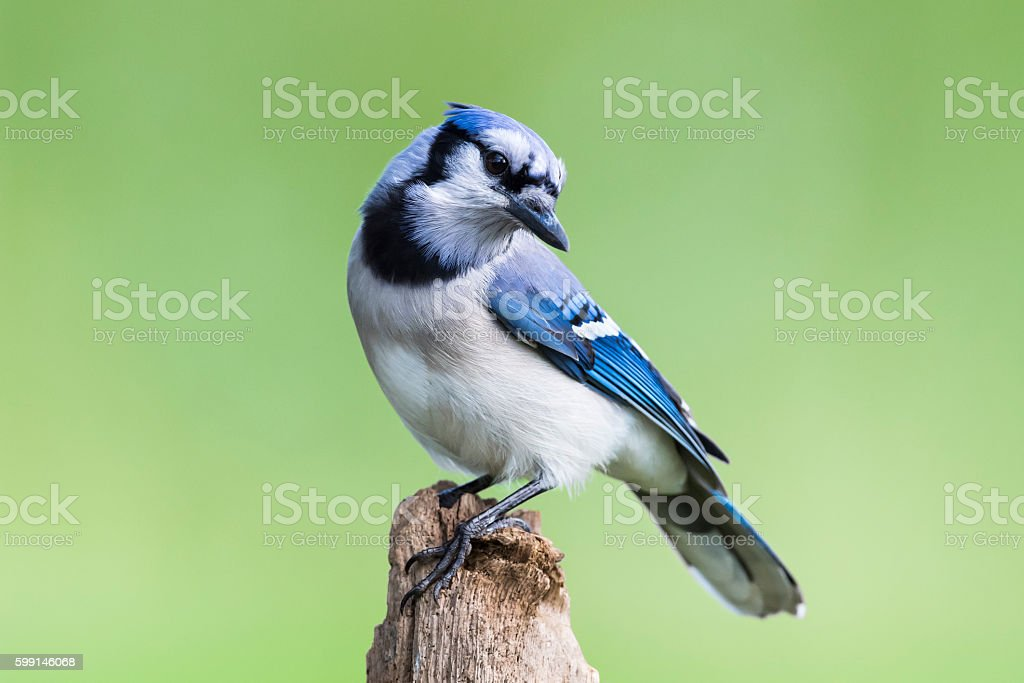 Blue Jay, cyanocitta cristata, bird perching, green background stock photo
