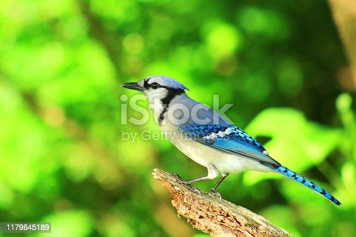 photo of a Blue Jay bird perching on a stick