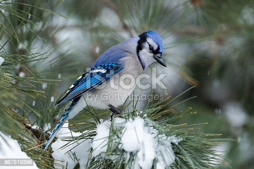 Blue Jay - Cyanocitta cristata - perched in a pine tree amongst snow falling and accumulated in the branches.