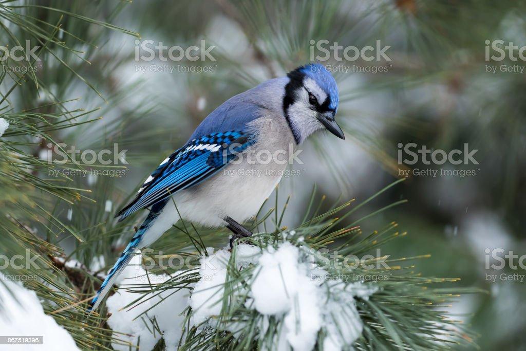 Arrendajo azul-Cyanocitta cristata - foto de stock