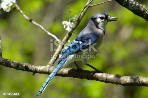 A Blue Jay (Cyanocitta cristata) is sitting on a cherry tree limb in Tennessee, USA