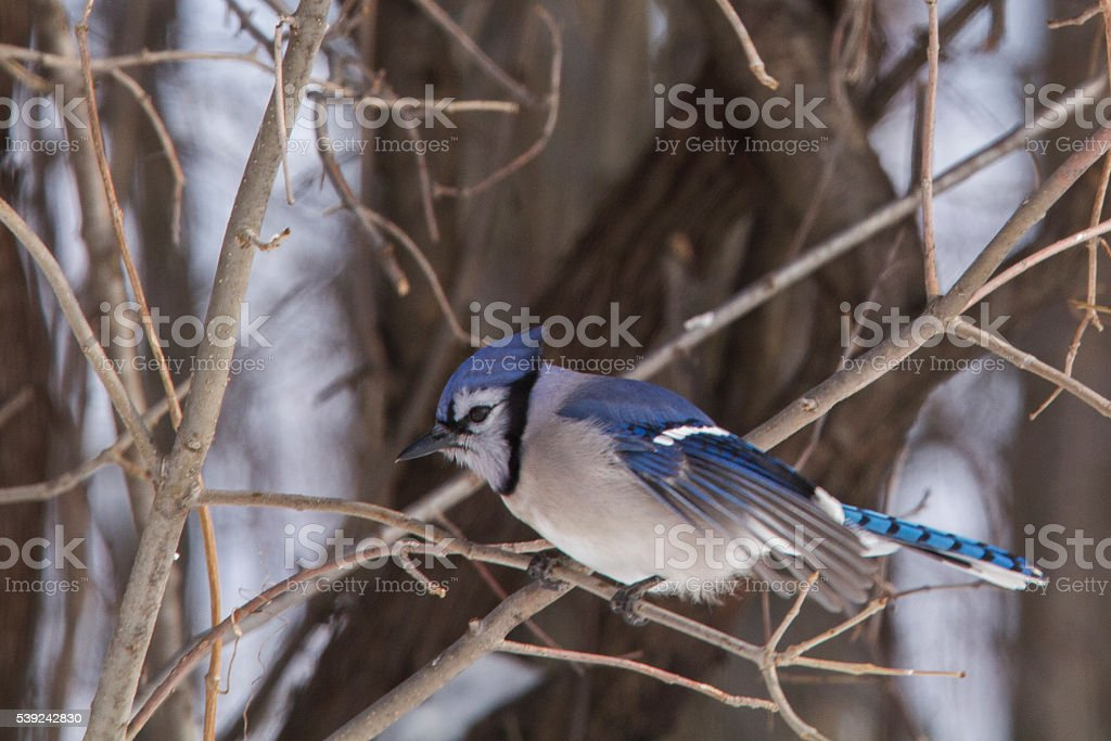 Blue jay in autumn royalty-free stock photo