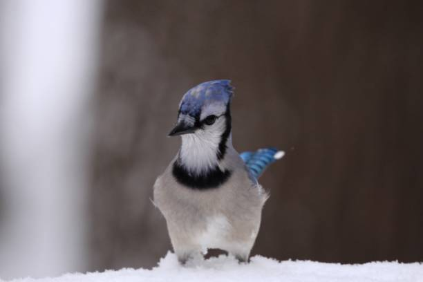Blue jay in snow. stock photo