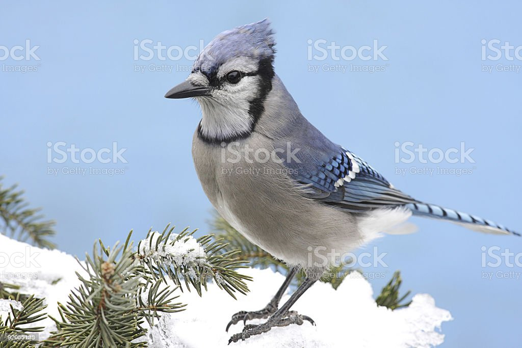 Blue Jay In Snow royalty-free stock photo