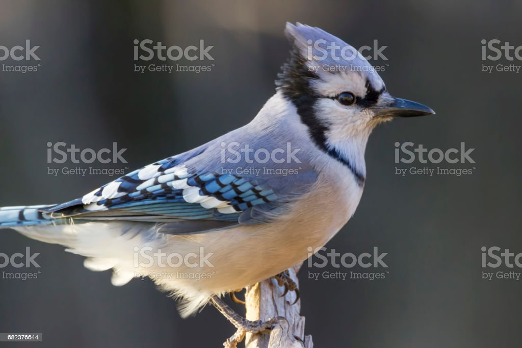 blue jay in the morning light stock photo