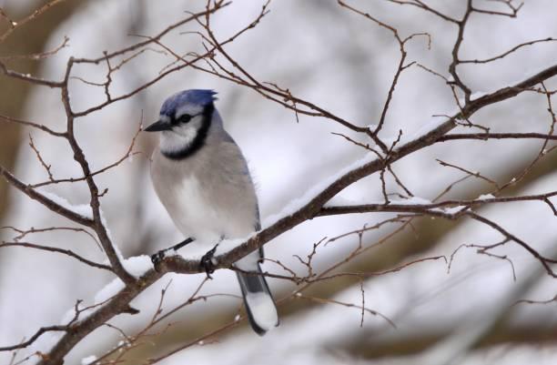 Blue jay in tree in winter. stock photo
