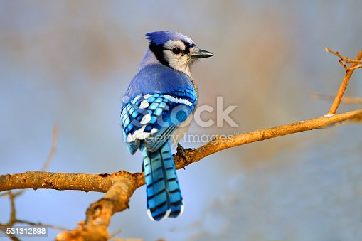 Blue Jay sitting on a Tree Branch