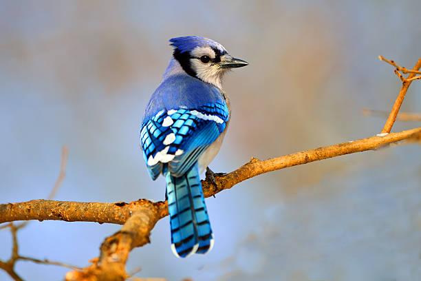 Blue Jay in Tree stock photo