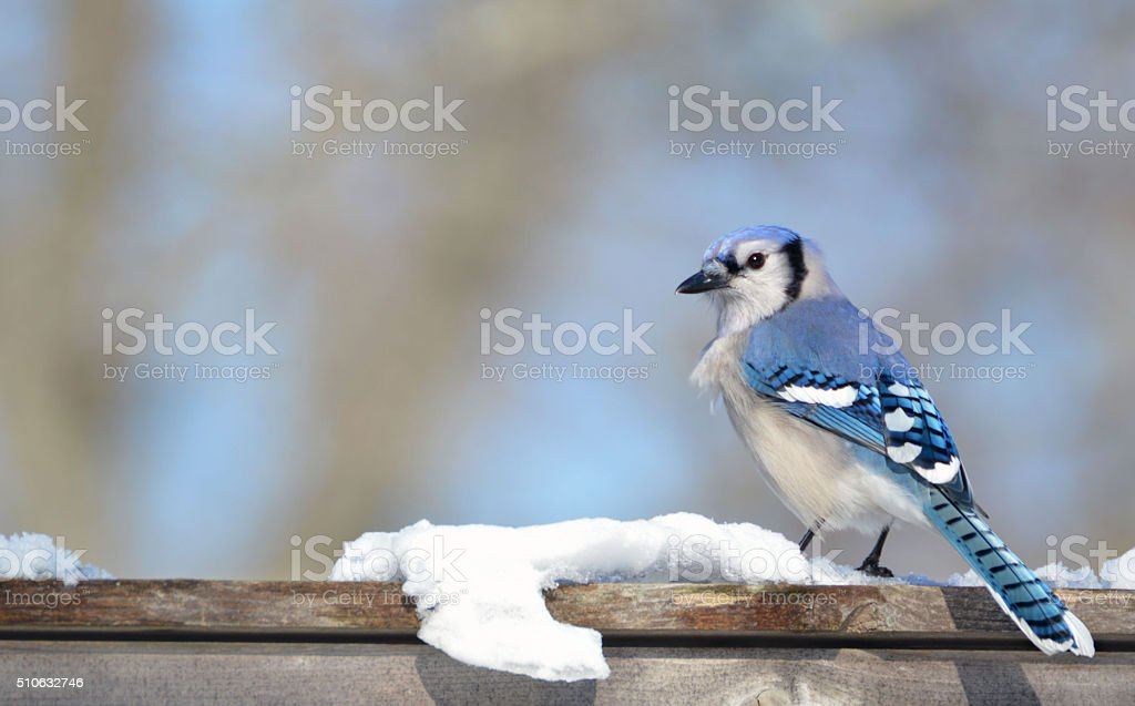 Blue Jay in Winter Snow stock photo