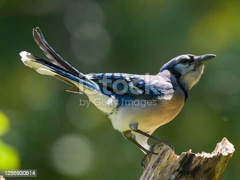 A single blue jay perched on a tree branch.