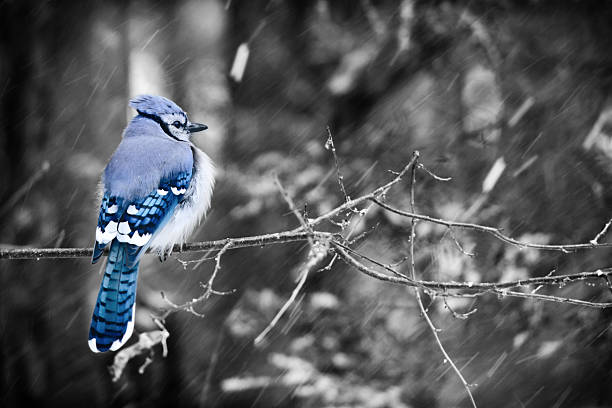 Blue Jay on a Snowy Day - Selective Color stock photo