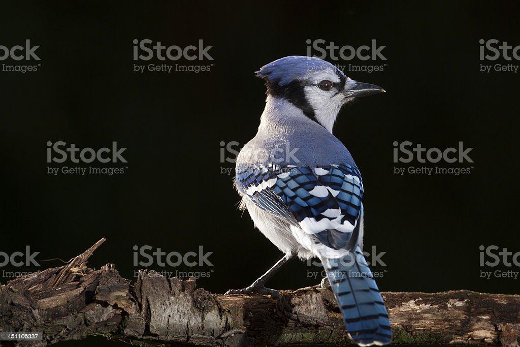 Blue Jay on Limb stock photo