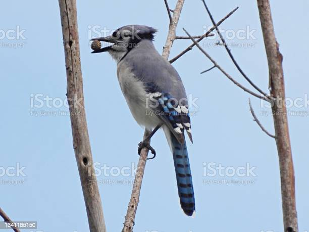 Photo of Blue Jay (Cyanocitta cristata) perched on a bare tree holding an acorn