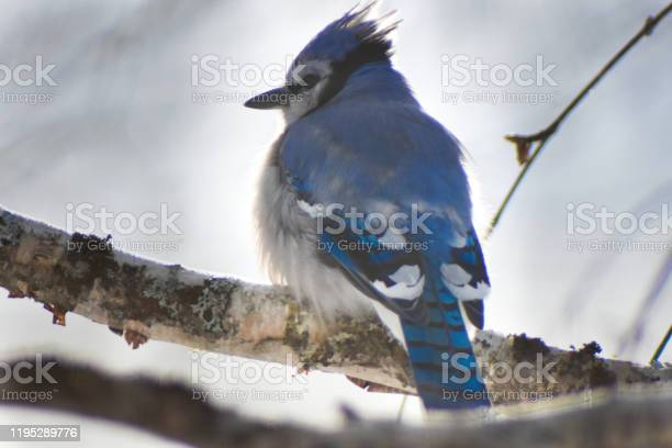 Photo of Blue jay perched on a birch tree