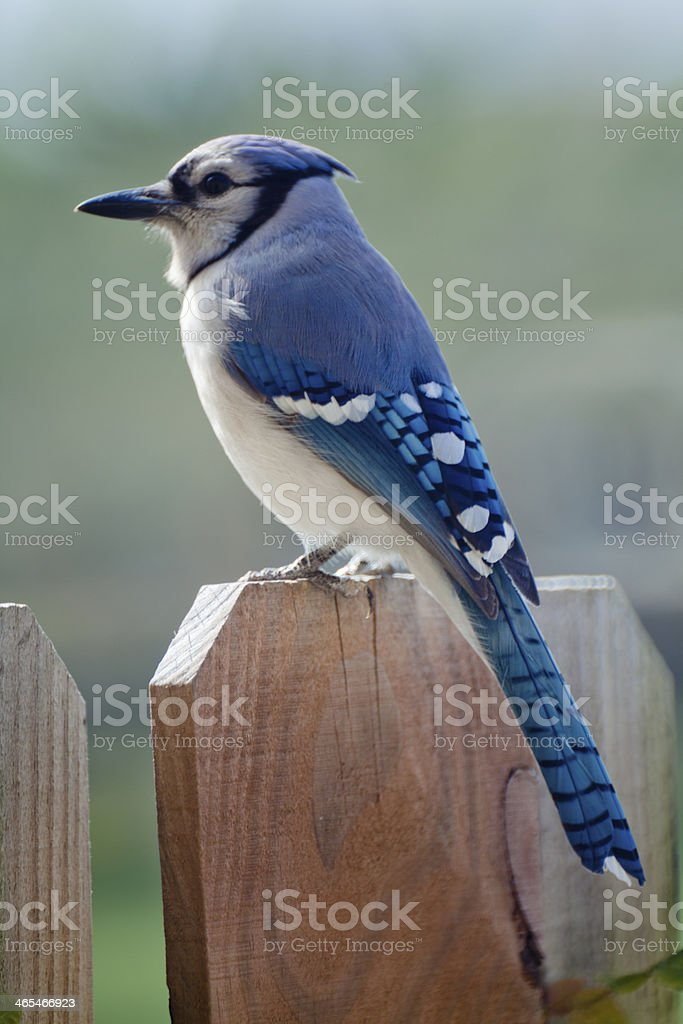 Blue Jay Perched on a Fence stock photo