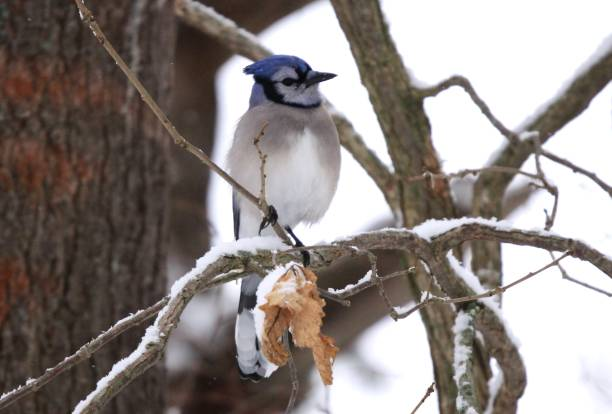 Blue jay perched on a tree branch in winter. stock photo