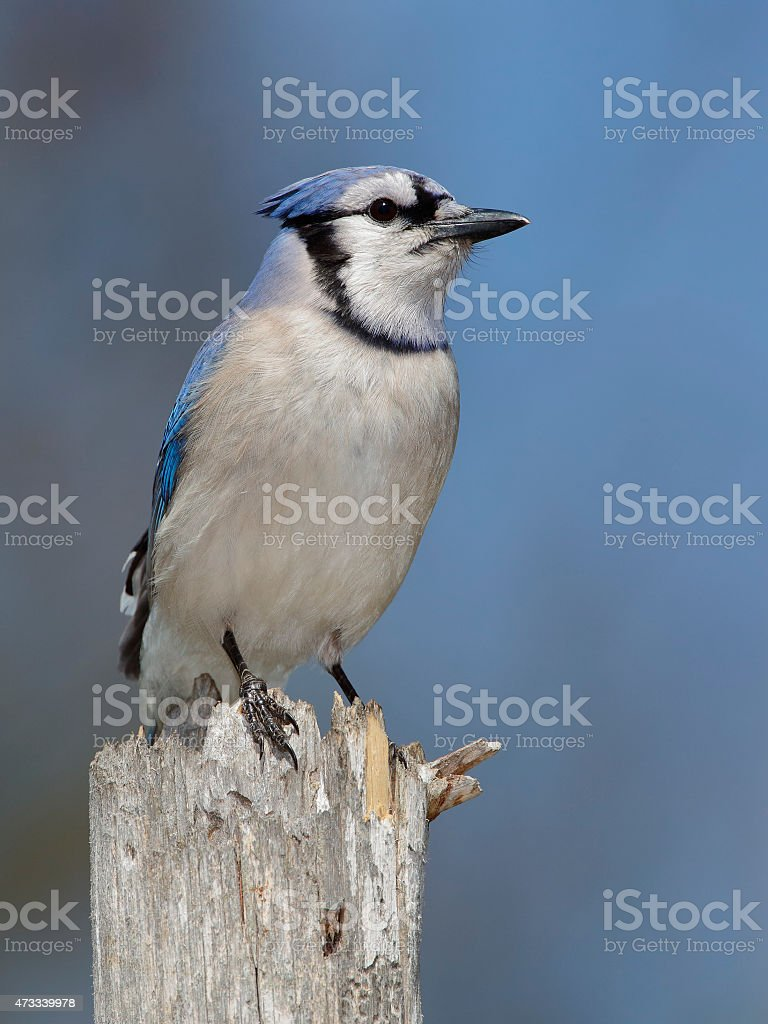 Blue Jay Perched on a Tree Stump stock photo