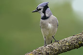 Blue Jay perching in tree with buds in springtime