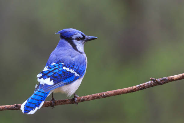 4 028 Blue Jay Stock Photos Pictures Royalty Free Images Istock