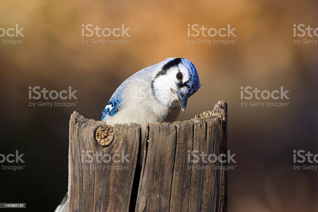 Blue Jay - Royalty-free Bird Stock Photo