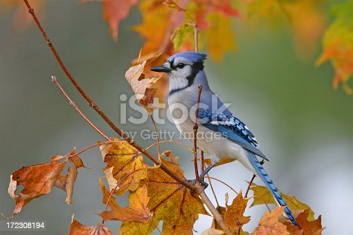 A Blue Jay perches on the branch of a tree with bright colored autumn foliage.