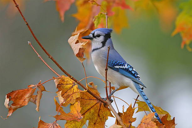 blue jay - vogel herfst stockfoto's en -beelden