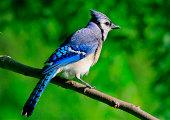 Blue Jay in Missouri Ozarks