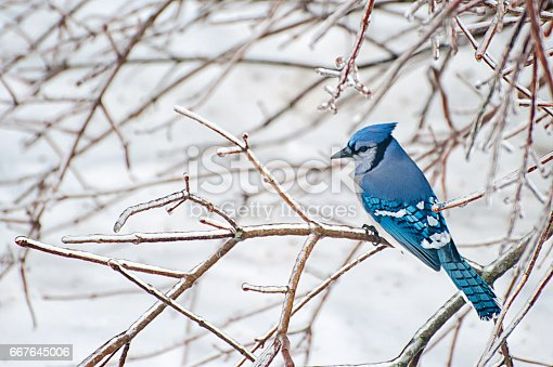 Blue jay sitting on an icy branch