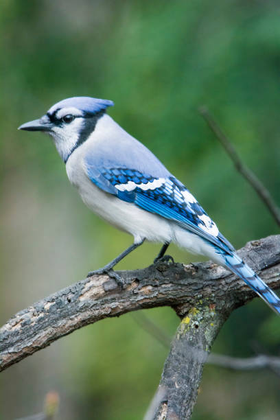 Royalty Free Blue Jay Pictures Images And Stock Photos Istock