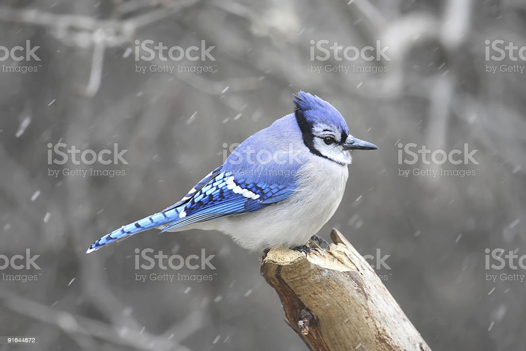 Blue Jay (corvid cyanocitta) royalty-free stock photo
