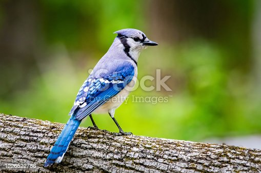 Blue jay portrait close up in summer green leafs at day