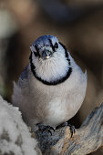 Blue jays are known to mimic the calls of hawks.