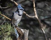 Blue jays can copy the calls of hawks - perhaps to warn other jays of their presence.