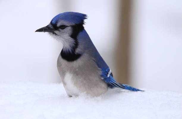 Blue jay standing in snow. stock photo