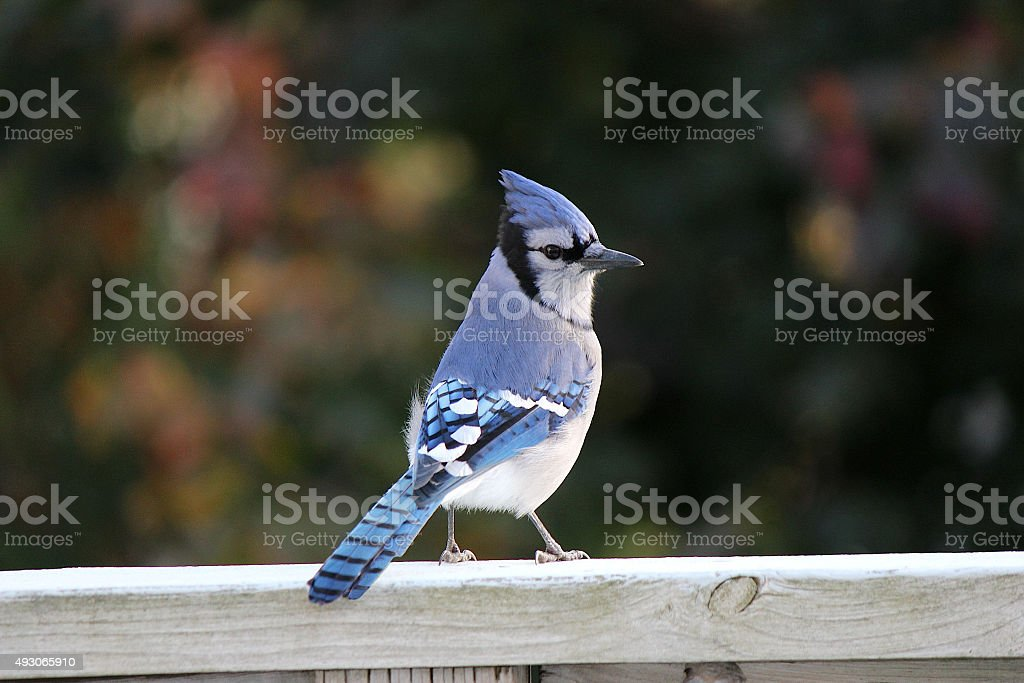 Blue Jay with Pointed Crest on Head in Autumn Leaves stock photo