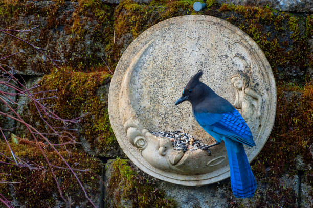 Blue jays eating from feeders stock photo