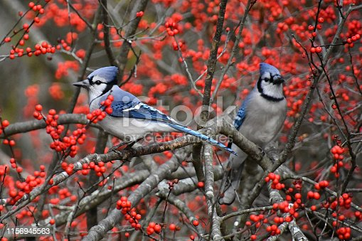 Blue jays in bush surrounded by red berries